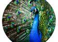 muurcirkel behangcirkel dieren kleurrijke pauw blauw vogel